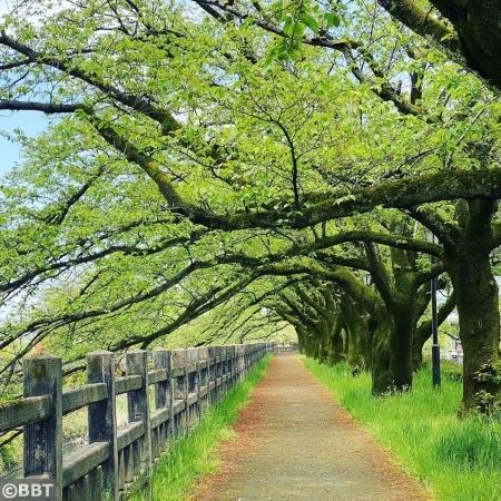 磯部堤の桜並木・初夏