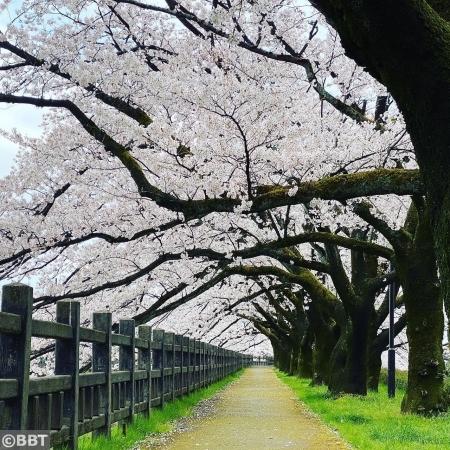 磯部堤の桜並木・春